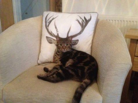 Le chat-cerf existe bel et bien