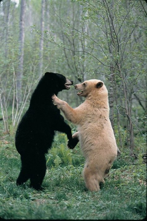 Les frères ours